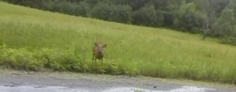 Fawn on Route 8