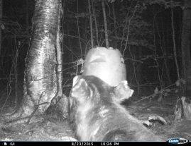 Scrapper my night bear.