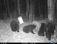 2015 Sow and her 3 cubs. The bear population is booming!