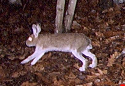 Fall rabbit...still brown