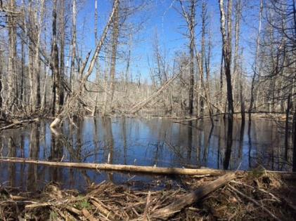 Beaver dam2