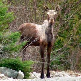 Spring moose yearling
