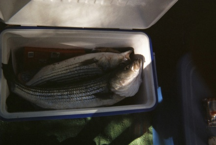 Striper too big for the cooler (c)SWarren