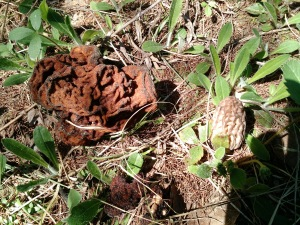 Morel (r) next false morel on left...never eat false morel!