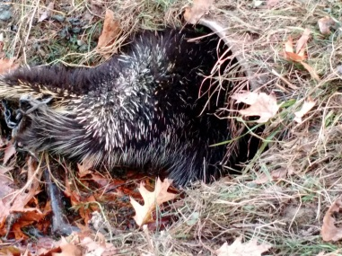 Caught porcupine