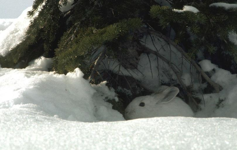snowshoe_hare_in_winter_t810