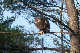 Eaglet sitting on a branch