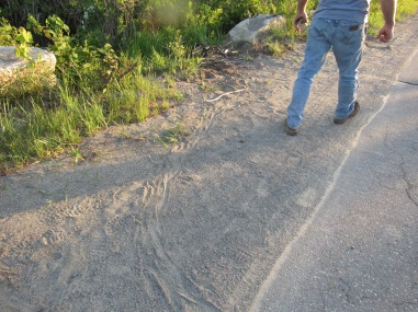 Turtle tracks. We tried to catch the female laying eggs but she retreated too fast.