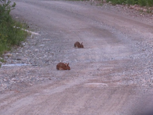Rabbits getting some nutrients from the road