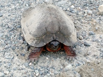 Wood turtle on dirt road