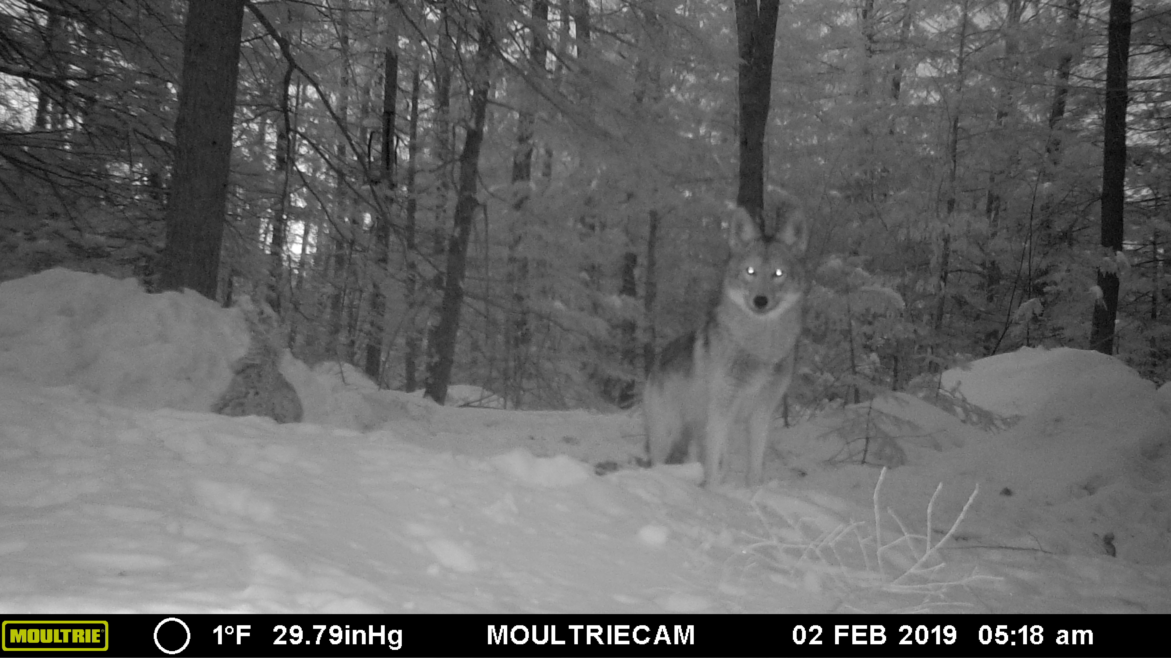 Winter Critters on the Game Camera