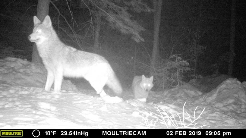 Pair of coyote